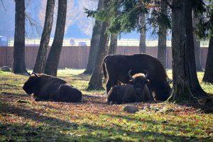 Żubry w Rezerwacie Pokazowym