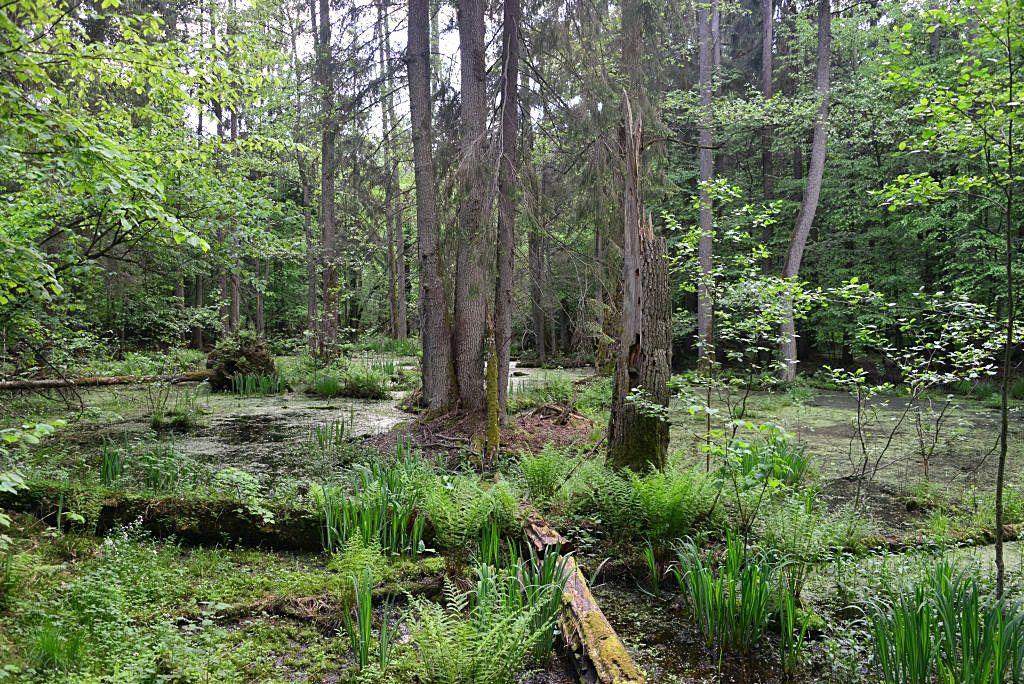 Rezerwat Ścisły Białowieskiego Parku Narodowego